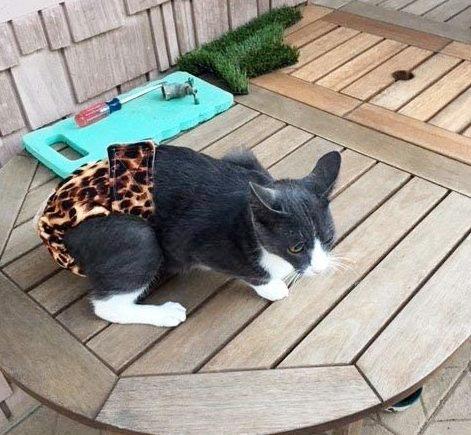 Cat In Cute Diaper